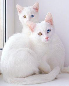 2匹おそろいのオッドアイ。双子の白猫、アイリスとアビスが幻想的で美しい