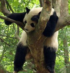 I loooove pandas :)