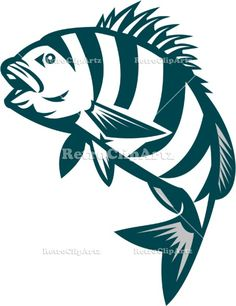 Sheepshead Fish Jumping Isolated Retro Vector Stock Illustration Illustration of a sheepshead (Archosargus probatocephalus) a marine fish jumping up set on isolated white background done in retro style. #illustration #SheepsheadFishJumping