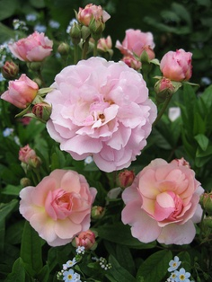 Rose 'Cornelia' - A lovely shrub that is just loaded with blooms.