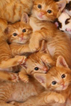 A Clowder of Gorgeous Orange Tabby Kittens ♥