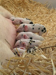 Little Piggys | Common site in Iowa | and I'm from the Ames, IA area so know this is VERY common...and we become attached to all the baby piglets!