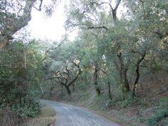 Oak forest on York Mountain Rd, Templeton, CA