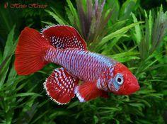 nothobranchius | Nothobranchius eggersi — Seriously Fish