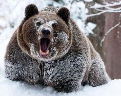 funny bear funny bear picture inspirational. Black Bedroom Furniture Sets. Home Design Ideas