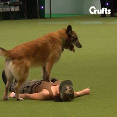 Amazing Dog Performs CPR, Squats and Press Ups in Heelwork To Music Routine at Crufts 2017 - Amazing Dog Performs CPR, Squats and Press Ups in Heelwork To Music Routine at Crufts 2017 Who says dogs can't do squats, press ups and give CPR? Adorable Cute Animals, Cute Cats, Funny Dog Memes, Funny Dogs, Cpr For Dogs, Heat Stroke In Dogs, Puppies And Kitties, Doggies, Overweight Dog