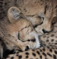 December 4th is International Cheetah Day. It is our chance to celebrate a unique species and support research and conservation which strengthens their chance for survival. However you choose to contribute, keeping a spot in your heart for the cheetah this December 4th is beautiful way to celebrate this unique cat. Learn about the CCF and Dr. Laurie Marker's 2016 Australian Tour: www.cheetah.org