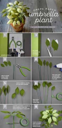 Potted Crepe Paper Umbrella Plant