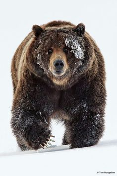 Gorgeous brown bear