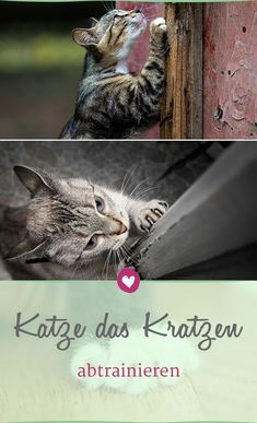 Katze das Kratzen an Möbeln abtrainieren Cats scratch – that's law. But where they scratch, you can train as a pet owner with the velvet paws. Bengal Kittens For Sale, Cats For Sale, Cats And Kittens, Pet Puppy, Pet Dogs, Dog Cat, Bengal Cat Breeders, Animals And Pets, Cute Animals