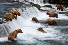 Brooks Falls  Photograph by Michael Melford    Although brown bears are normally solitary creatures, they congregate at places like Brooks Falls in the summer to catch and eat spawning salmon.    From the National Geographic book Hidden Alaska    www.nationalgeographic.com