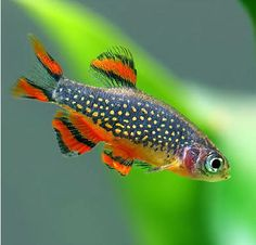 Danio margaritatus. Celestial Pearl Danio OR Galaxy Rasbora. Pick your favorite common name.