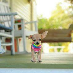 Little Chi