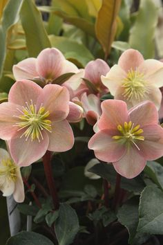 Helleborus x ballardiae 'Cinnamon Snow' PPAF (Cinnamon Snow Hybrid Christmas Rose) Hellebores bloom over such a long time here in our cool coastal climate, Sunset Zone Very lovely, and very useful. Shade Flowers, Shade Plants, Beautiful Flowers, Simply Beautiful, Pink Flowers, Flower Beds, My Flower, Flower Power, Shade Garden