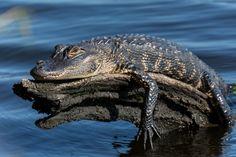 Florida gator sunning himself on tree in St. Johns River, East Palatka, FL
