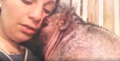 """""""O Grito do Bicho"""": Moça canta para porquinho se acalmar e recuperar s..."""