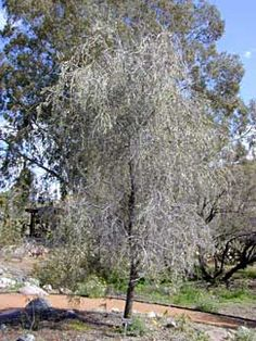 Acacia pendula Weeping Acacia.graceful evergreen long-lived native of Australia displays weeping branches clothed in 2-3 inch silvery blue-grey leaves. Slow growing to 15-20' tall, it's bushy & full when young & takes on an interesting ghostly shape with age. Drought & clay tolerant with a low litter rate, it makes a nice specimen plant & looks especially nice in a large container.