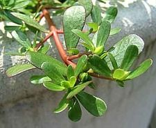 What is Purslane?  A Weed or a Wonderful Volunteer Plant?    Purslane is nearly unknown and is an under utilized green that is easily grown in the garden as it often volunteers in the garden.