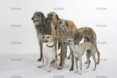 Sloughi / Scottish Deerhound / Whippet / Parson Jack Russell Terrier