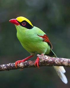 Common Green Magpie (Cissa chinensis). A vividly colored corvid of parts of India and Southeast Asia. photo: Lawrence Neo.