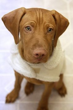 Awwww, look at that Face! I want a doggie like this sweet thing! Hungarian vizsla