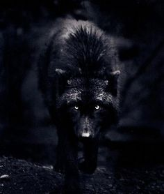 This is not a werewolf drawing, this a photograph by an incredible photographer named Carl Cook. This wolf is a female named Destiny. I had found the wolf series many years ago. Unfortunately, his site seems to be gone. Big Bad Wolf, Beautiful Creatures, Animals Beautiful, Cute Animals, Wild Animals, Wolf Spirit, Spirit Animal, Wolf Hybrid, Beautiful Wolves