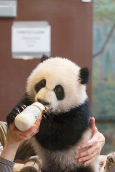 "Panda Cub: ""I LOVE the kindness of this Human."""