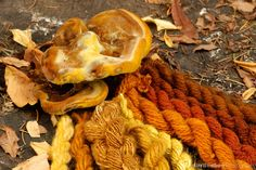 Dyer's polypore (Phaeolus schweinitzii) and samples of yarn dyed with pigments from the same species show the range of colors available from...