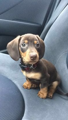 Dachshunds, Dogs, Animals, Dachshund, Animales, Animaux, Weenie Dogs, Pet Dogs, Weiner Dogs