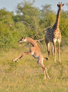 Baby Giraffe | Serengeti National Park