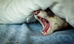 Ferret: *Yawn!*