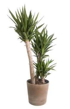 Repotting yucca is occasionally necessary to keep the plants looking their best. Yuccas are not overly fond of pot cultivation but they are usually fine when large pots are used. A three litre rose pot for a young seedling up to three years of age. For older plants, use ten litre pots or bigger.