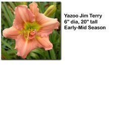 """Yazoo Jim Terry"" daylily $7.50 per double fan at Smithdaylilies.com"