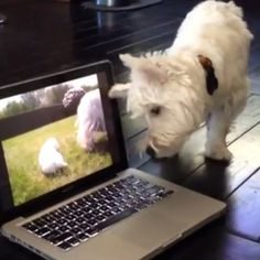 The clarity and sharpness of today's computer monitors makes it completely understandable why the West Highland white terrier in this video is terribly confused.