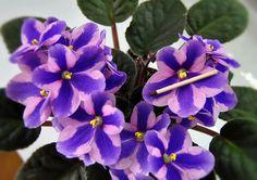 Humako Tineke, цветение моей розетки