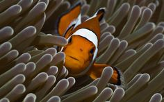 Aldwin Kingsman - Free Awesome clownfish picture - 1920x1200 px