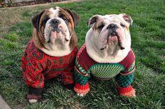 English Bulldog in Christmas sweaters! Tacky Christmas Sweater, Christmas Dog, Merry Christmas, Christmas Jumpers, Holiday Sweaters, Holiday Pajamas, Winter Sweaters, Sweater Weather, Christmas Holidays