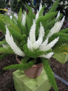 Variegated foxtail fern (Asparagus densiflorus 'Meyersii') Hardiness: USDA Zone - That looks fake because is is so different!Variegated foxtail fern (Asparagus densiflorus 'Meyersii') Now this is truly stunning. Whazt an eye catcher in a love