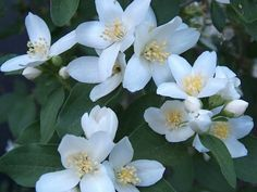 Mock Orange or Philadelphus lewisii, a member of the hydrangea family. Native to the northwest. Deciduous, multi-stemmed shrub with long, arching branches. Grows 4-6 ft., sometimes taller, with an abundance of richly-fragrant pure white blossoms in the late spring/early summer.
