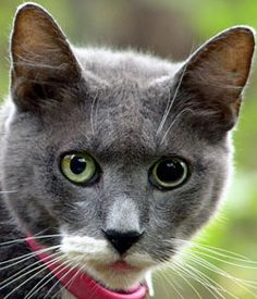 Have you seen a #cat with aniscoria? You can tell because her #pupils are different sizes! #VCAAnimalHospitals