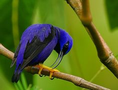 he Purple Honeycreeper (Cyanerpes caeruleus) is a small bird in the tanager family. It is found in the tropical New World from Colombia and Venezuela south to Brazil, and on Trinidad. A few, possibly introduced birds have been recorded on Tobago.