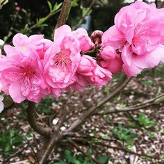 【southsidesensei】さんのInstagramをピンしています。 《Came into school on the first day of the holidays to find the small cherry tree outside my room is blooming! 学校休みの1日目に学校に入って、私の教室の外で桜が咲いて見た。美しい!!🌸#春来た #桜 #オーストラリア#先生 #メルボルン #美しい #springhassprung #melbourne #australianteacher #japaneseteacher #schoolsout #cherryblossom #sakura》