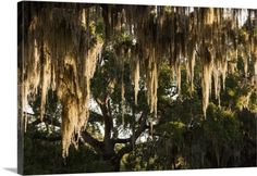 Walter Bibikow Premium Thick-Wrap Canvas Wall Art Print entitled Georgia, Jekyll Island, live oak trees, None