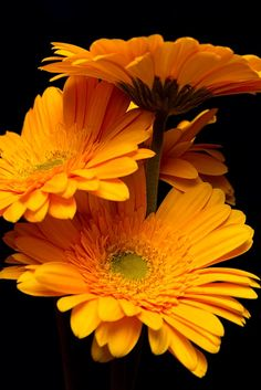 Gerbera Daisy ~ Flowers by tustin_shooter* Amazing Flowers, Yellow Flowers, Colorful Flowers, Beautiful Flowers, Elegant Flowers, Flowers Nature, Gerbera Flower, My Flower, Flower Bouquets