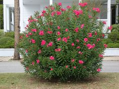 oleander bush - I would love one of these in my front yard! Outdoor Landscaping, Landscaping Plants, Outdoor Plants, Front Yard Landscaping, Outdoor Gardens, Hedges, Oleander Plants, Flowering Shrubs, Gras
