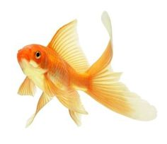 This represents the goldfish that Shelia stabbed the eyes out of.