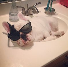 Most importantly, HE SLEEPS IN THE SINK. | 28 Important Facts About Manny The Sink Sleeping French Bulldog