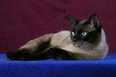 Thai Cat (old style Siamese) -- a newly classified cat breed, similar to but distinct from the modern Western Siamese cat