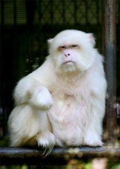 Albino singe ~ à Monkey Park à Xishuangbanna, Chine. Son expression faciale est donc comme un humain.