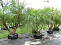 Evergrene Club, Palm Beach Gardens, FL - Evergrene Club, Palm Beach Gardens, FL pygmy date palm